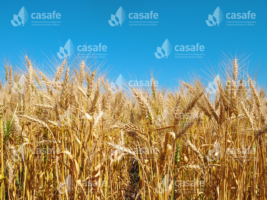 trigo-harina agroquimicos y alimentos
