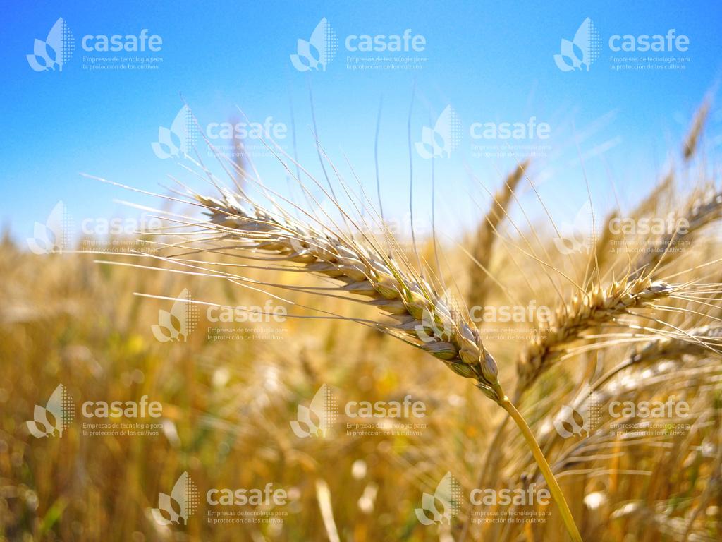 trigo agroquimicos y alimentos