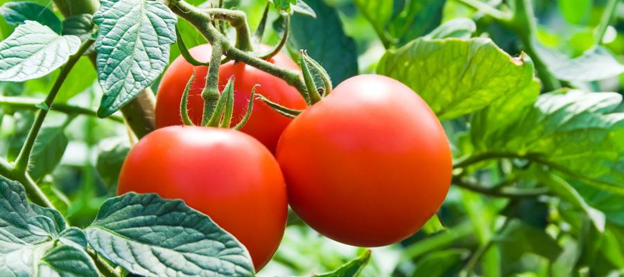 Cuidados de cultivos de tomate
