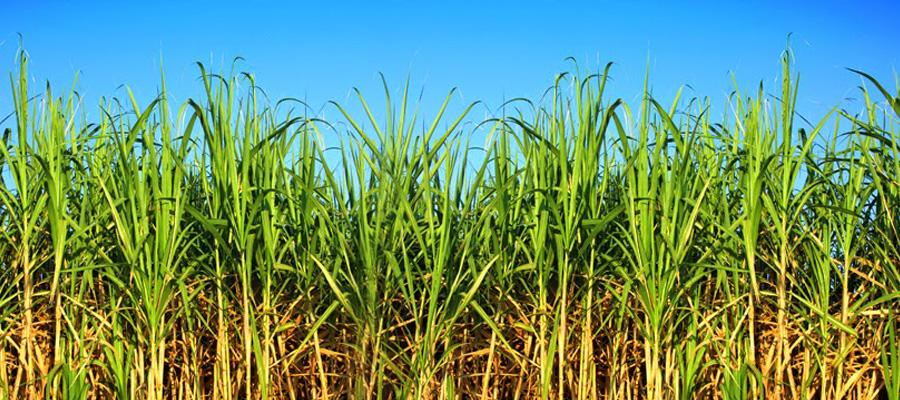 Cuidado De Malezas En El Cultivo De Caña De Azúcar