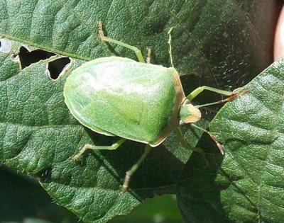 Manejo de insectos en el cultivo de soja