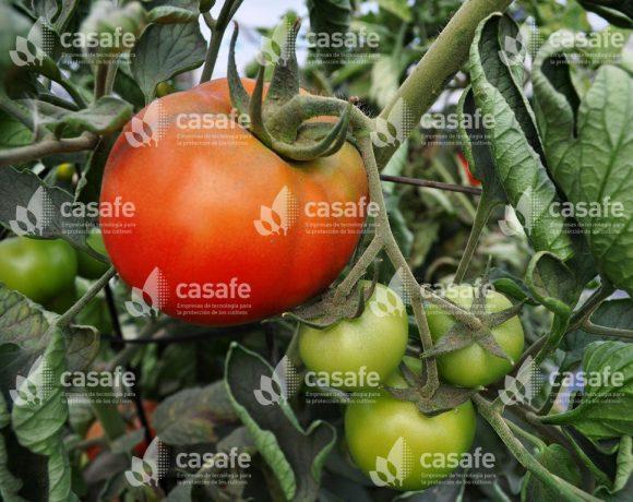 Cultivo Tomate 1