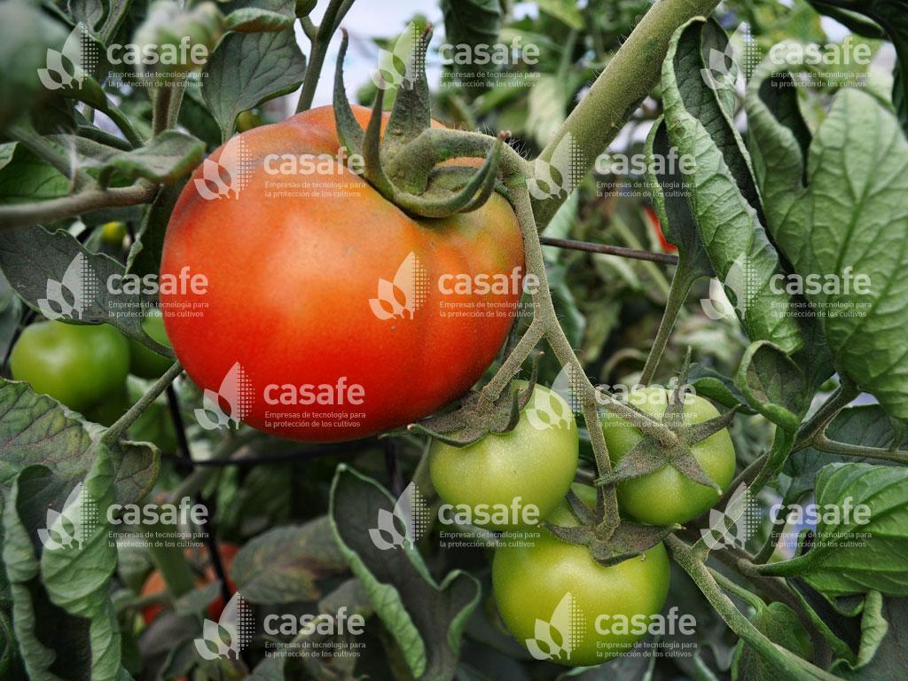 buenas practicas agricolas en cultivos de tomate
