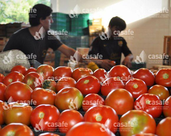 Cultivo Tomate 6