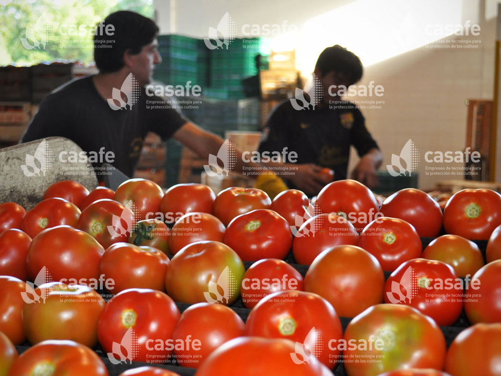 cultivo tomate casafe