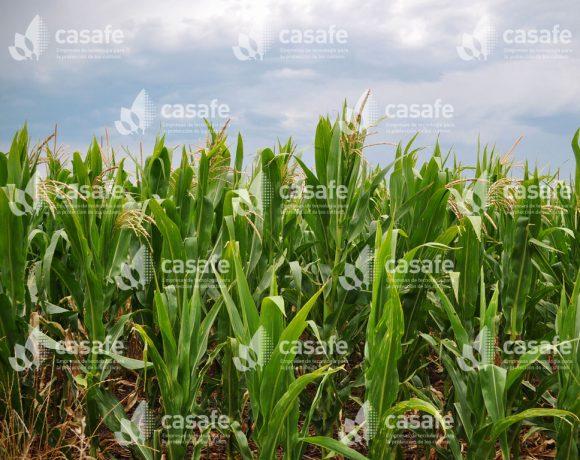 Cultivo Maíz 1