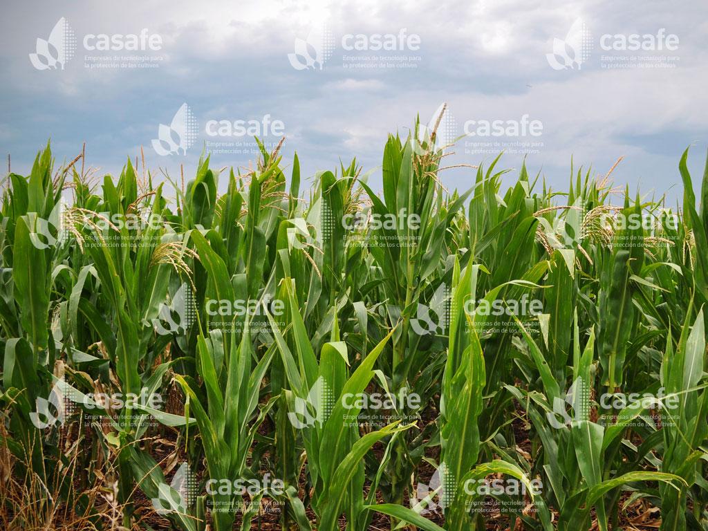 imagen-casafe-cultivos12