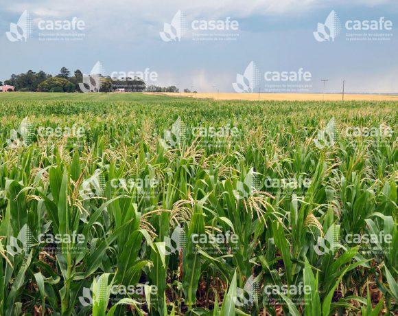 Cultivo Maíz 2