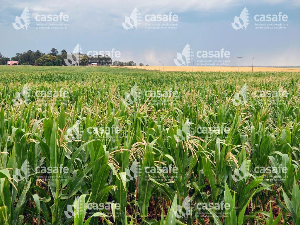 cultivo maiz casafe