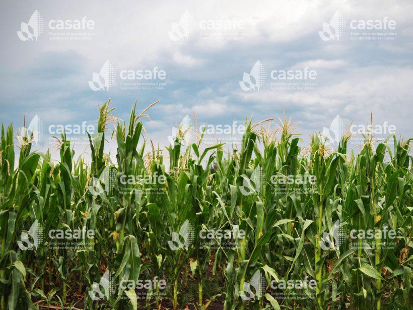 Cultivo Maíz 3