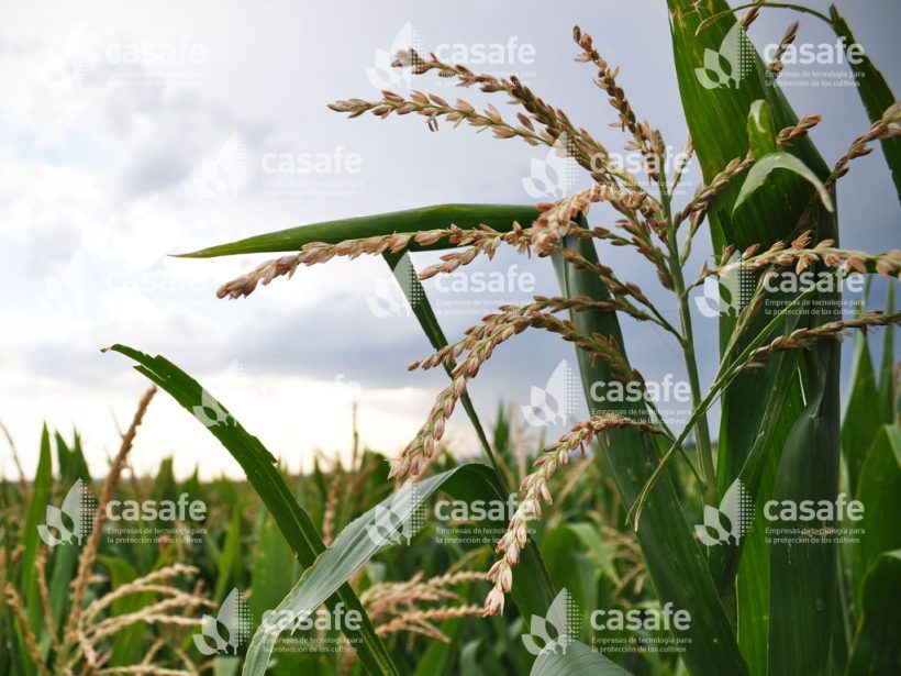 Cultivo Maíz 4