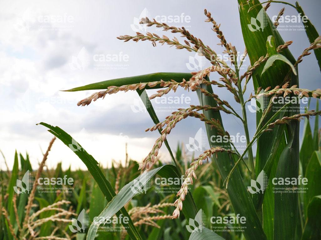 imagen-casafe-cultivos15