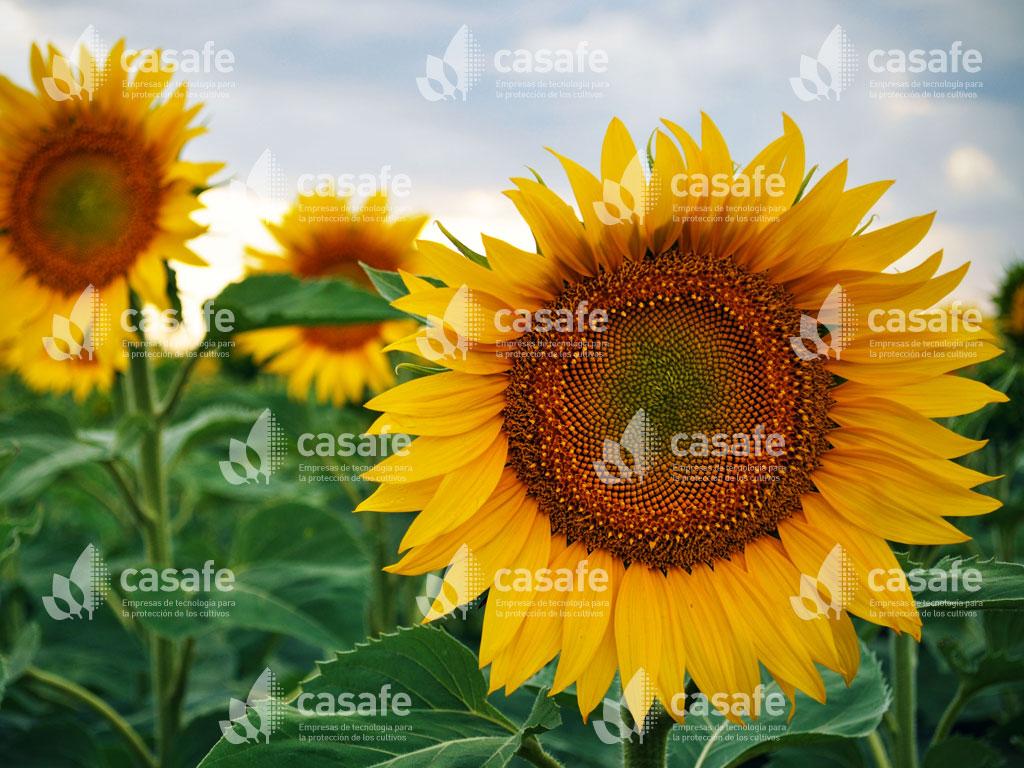 imagen-casafe-cultivos19