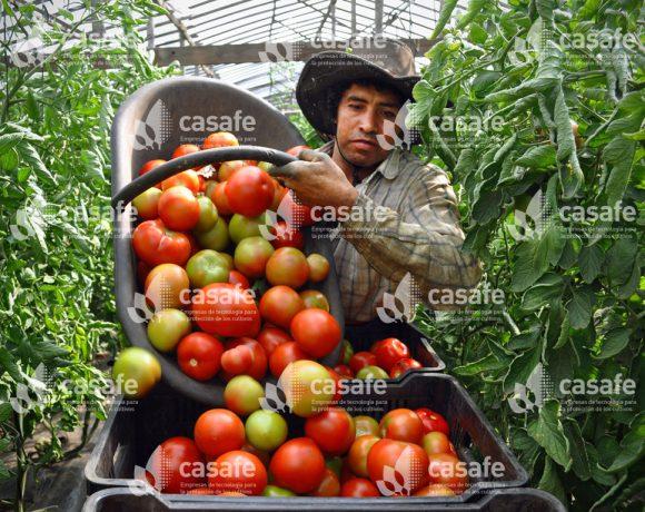 Cultivo Tomate 2
