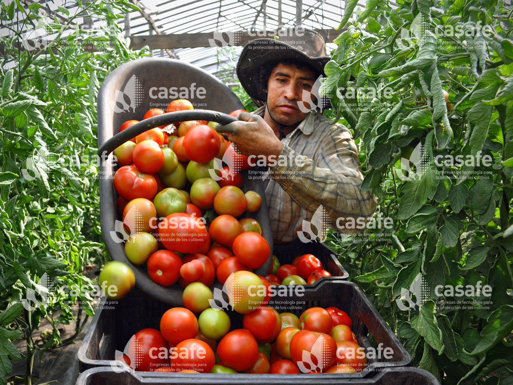 agricultura sustentable cultivo tomates
