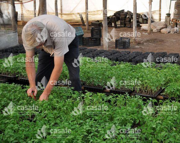 Cultivo Tomate 8