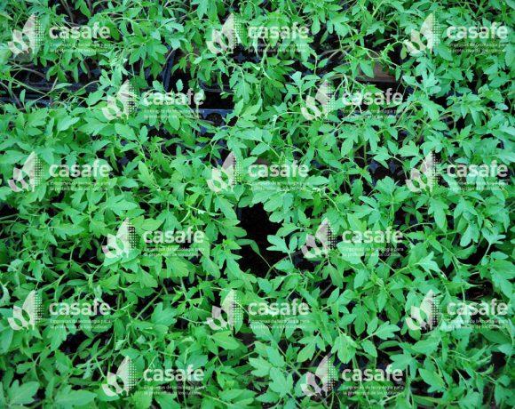 Cultivo Tomate 10
