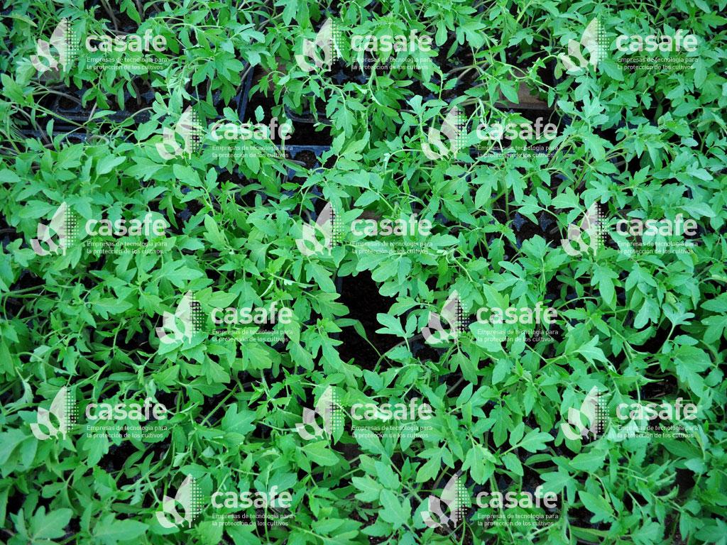 cultivo tomate y agroquimicos casafe glifosato