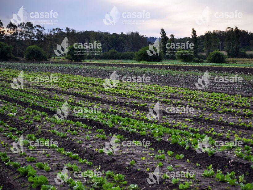 Cultivo Lechuga 1