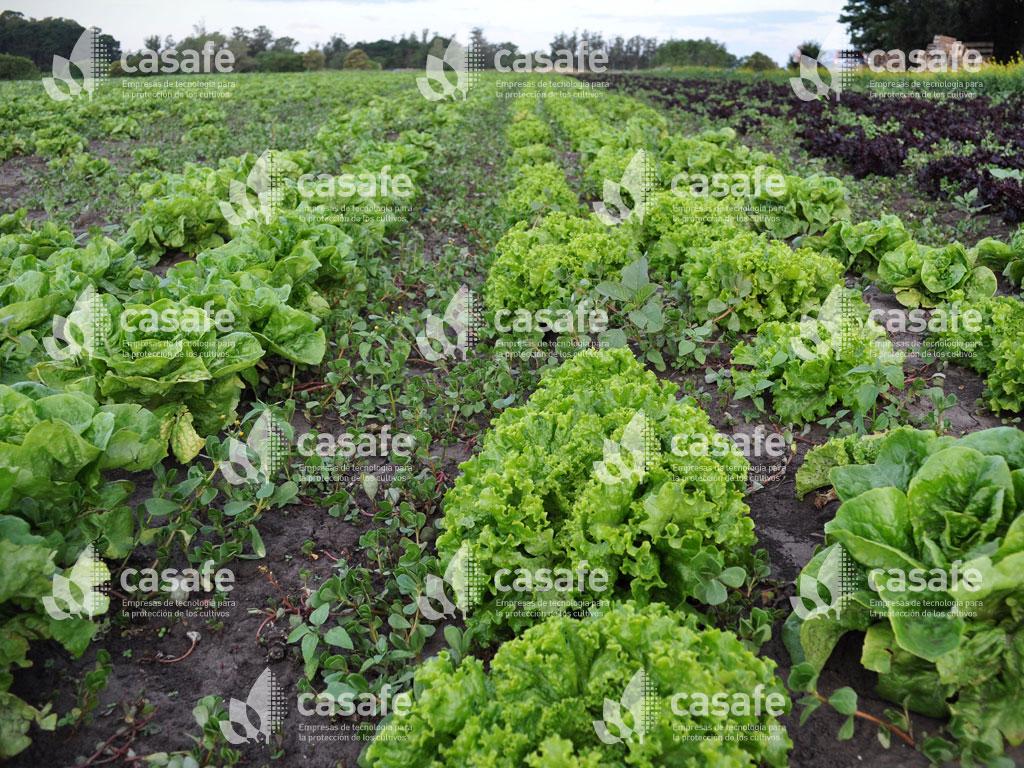 fitosanitarios y lechugas glifosato