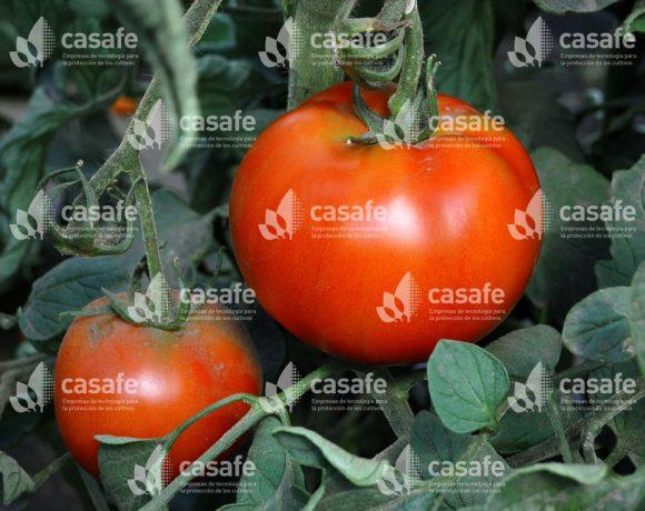 Cultivo Tomate 3