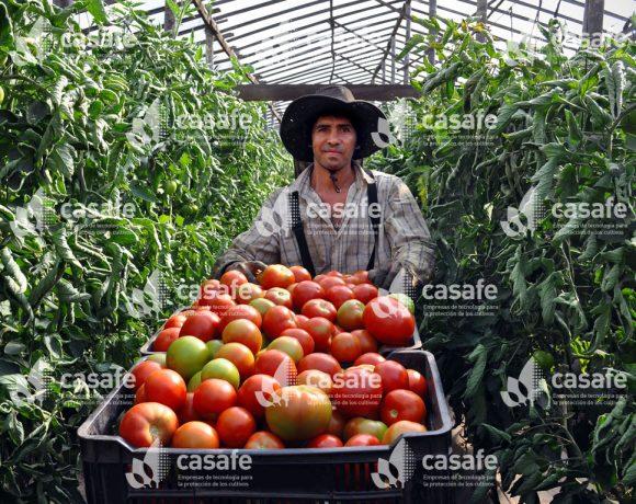 Cultivo Tomate 4