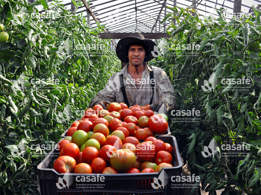 agricultura sustentable tomate