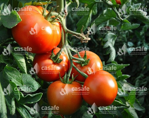 Cultivo Tomate 5