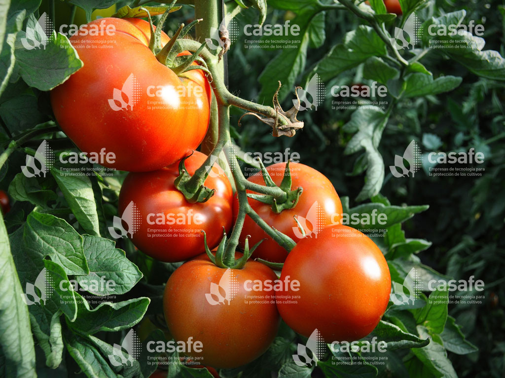 agroquimicos y tomates