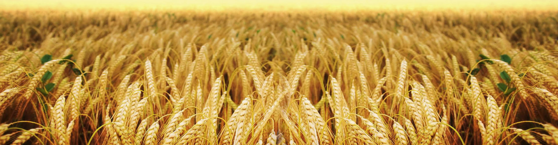campo trigo casafe agricultura sustentable