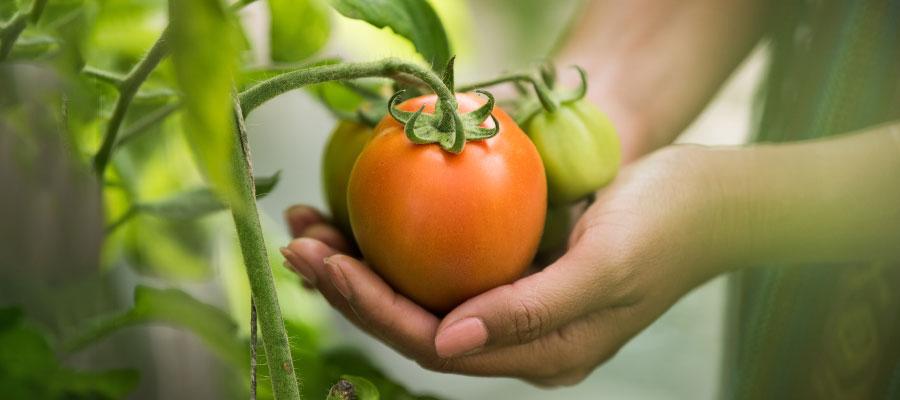 Imagen de manos sosteniendo una planta de tomate