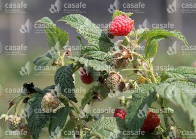 imagen-casafe-cultivos-frambuesas-1