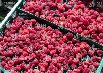 imagen-casafe-cultivos-frambuesas-2