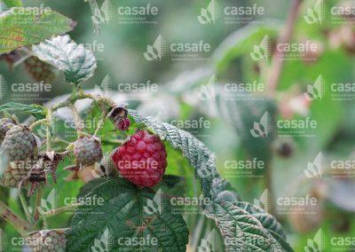 imagen-casafe-cultivos-frambuesas-3