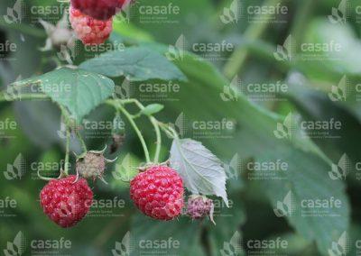 imagen-casafe-cultivos-frambuesas-4
