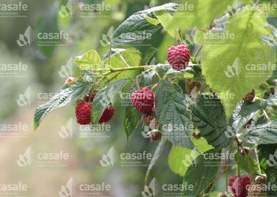 imagen-casafe-cultivos-frambuesas-5