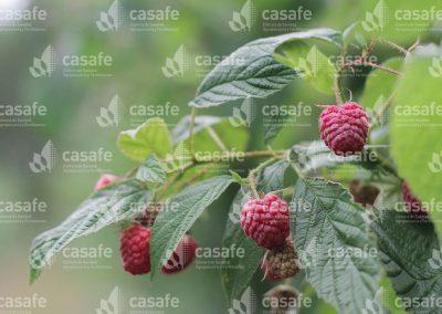 imagen-casafe-cultivos-frambuesas-6