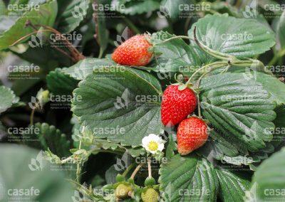 imagen-casafe-cultivos-frutillas-1