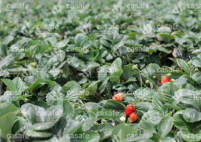 imagen-casafe-cultivos-frutillas-2