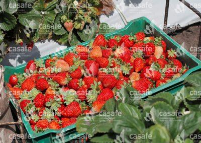 imagen-casafe-cultivos-frutillas-3