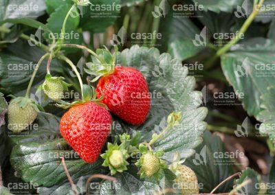 imagen-casafe-cultivos-frutillas-4