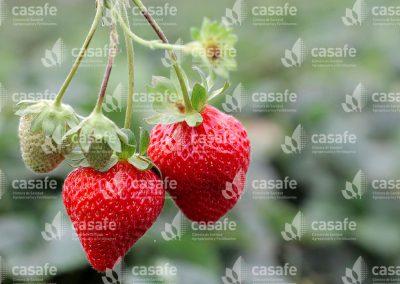 imagen-casafe-cultivos-frutillas-5