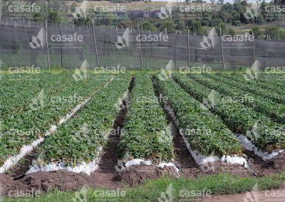 imagen-casafe-cultivos-frutillas-6