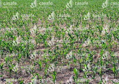 imagen-casafe-cultivos-maiz-1
