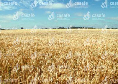 imagen-casafe-cultivos-trigo-1