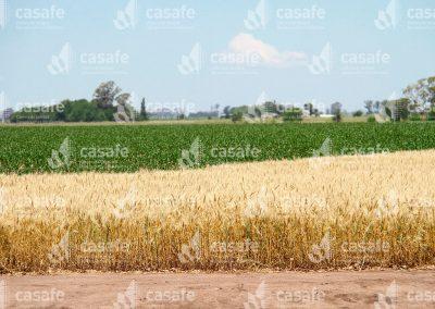 imagen-casafe-cultivos-trigo-2
