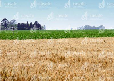 imagen-casafe-cultivos-trigo-3