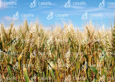 imagen-casafe-cultivos-trigo-4