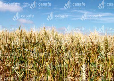 imagen-casafe-cultivos-trigo-5