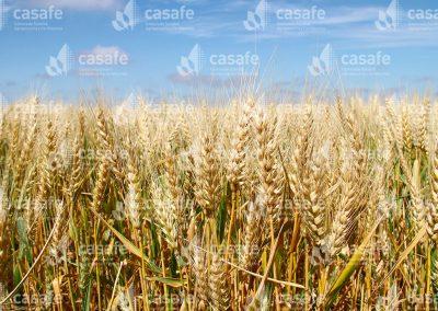 imagen-casafe-cultivos-trigo-6